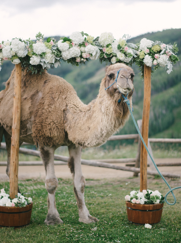 Camel at Steamboat Wedding